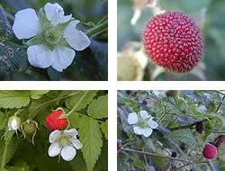 Rubus_rosifolius