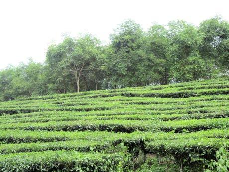 """K1 Tân Lập, Vĩnh Phú có nhiều """"Ðội chè"""" trồng chè ( trà )"""