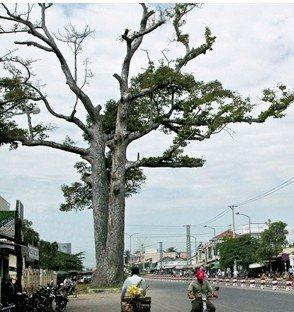 CÂY DẦU ĐÔI (Nha Trang)